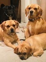Bentley & Bobby binnenkort puppies?